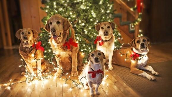 Pericolele din bradul de Crăciun pentru animalele de companie