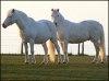 Caii gemeni demni de cartea recordurilor