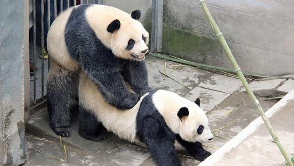 Panda, nou record sexual! Cât s-au iubit doi ursuleți din China - VIDEO