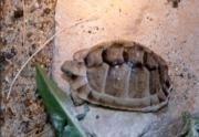 Broasca testoasa cu capac sau greaca (testudo greaca ibera)