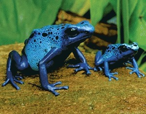Broasca otravitoare albastra (Dendrobates az