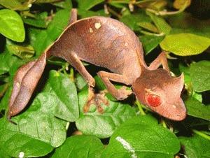 Soparla Gecko  (Uroplatus phantasticus)