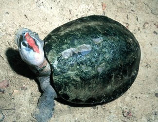 Broasca testoasa pictata (Callagur borneoensis)