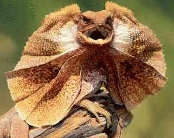 Dragonul gulerat (Chlamydosaurus kingii)