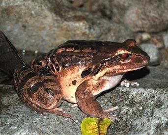 Puiul de munte (Leptodactylus fallax)