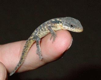 Gecko - soparla `lipicioasa`