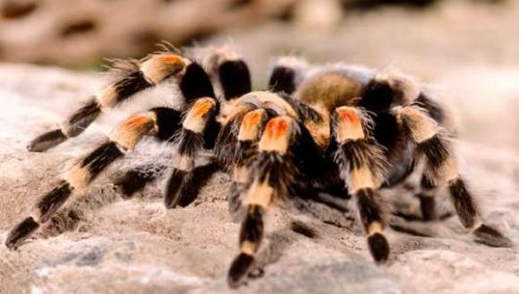 10 lucruri interesante despre tarantule