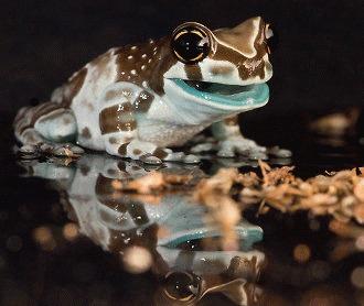 Amazon milk frog – ghid de ingrijire