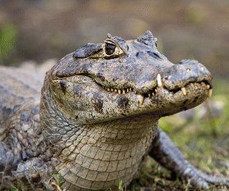 Caimanul (Caiman crocodilus)