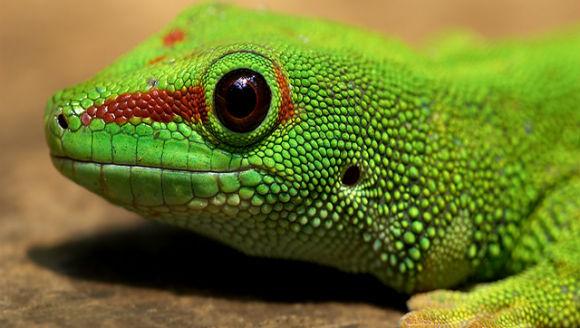 5 specii de gecko cu aspect neobișnuit
