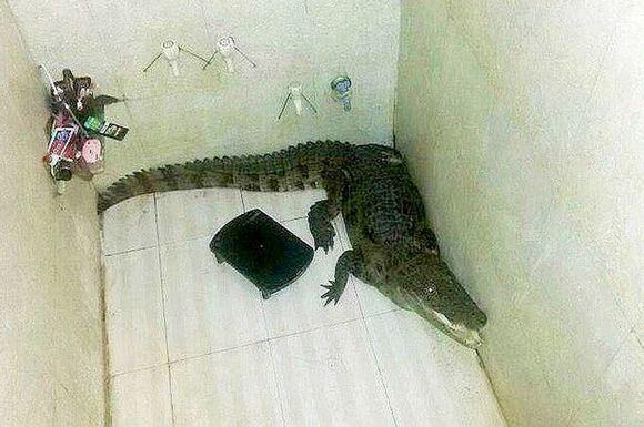 Surpriza din duş: un crocodil!