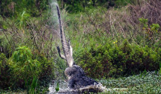 Când vânătorul devine vânat: aligator sfâşiat de la mijloc
