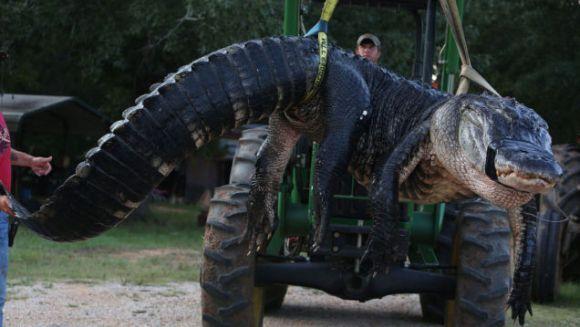 Un aligator gigantic a rupt cântarul vânătorilor. Cât cântărea el