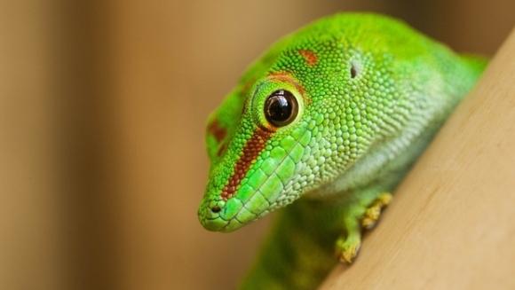 S-a descoperit mecanismul genetic de regenerare a cozii la şopârle. Ar putea fi aplicat şi la oameni