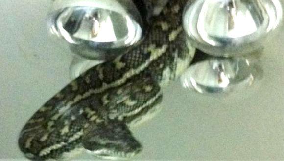 Cu şarpele în tavan!
