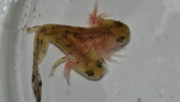 Salamandra cu două capete
