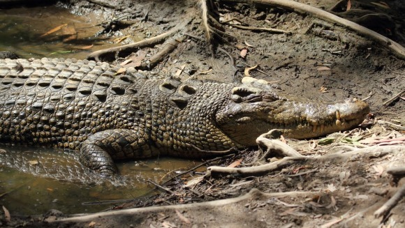Crocodilul de apă sărată - cel mai mare crocodil