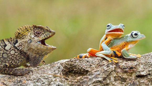 Șopârla curioasă: asistă la scena de iubire dintre două broscuțe