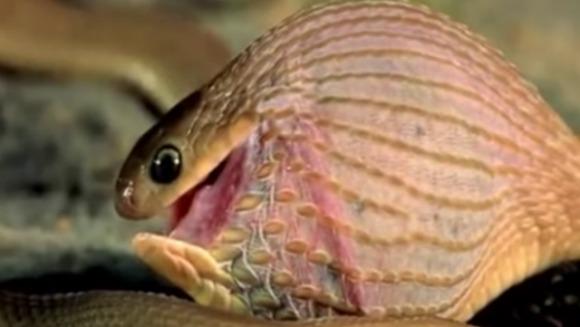Fascinant: Un șarpe înghite un ou de cinci ori mai mare decât capul lui