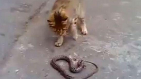 De-a șarpele și pisica sau lupta pentru supraviețuire. Cine rămâne în viață? - VIDEO