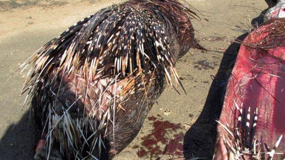 Ucis de propria hrană! A înghiţit un porc spinos, iar acele lui i-au înţepat stomacul - Galerie Foto