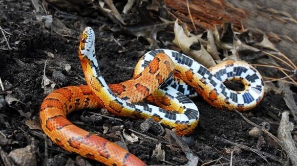 Sindromul stargazing la reptile – cauze, simptome și tratament