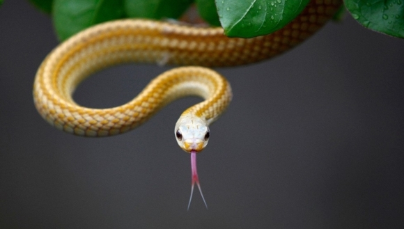 La ce îşi folosesc şerpii limba