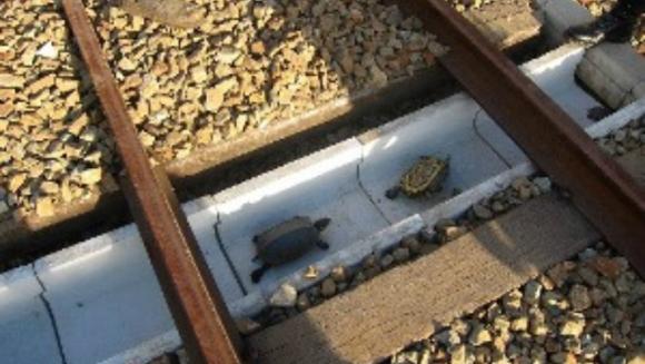 Metoda inedită găsită de japonezi pentru a salva broaştele ţestoase şi a evita accidentele feroviare