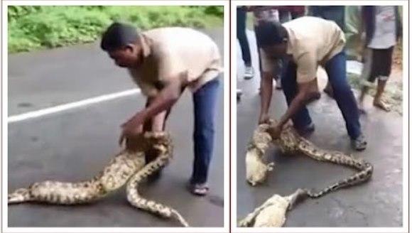 Video incredibil: un bărbat scoate doi iezi din stomacul un şarpe boa viu