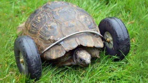 O țestoasă de 90 de ani a  primit o pereche de roți, după ce și-a pierdut picioarele din față – VIDEO