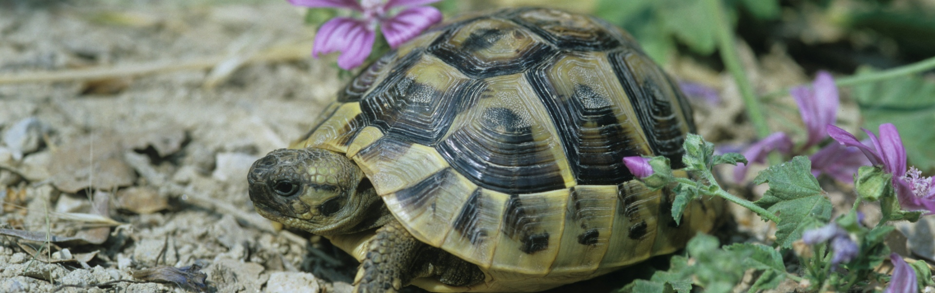 Cât de mult trăiește o broască țestoasă?