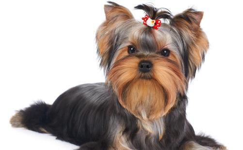Rase de câini cărora nu le cade părul (Galerie Foto)