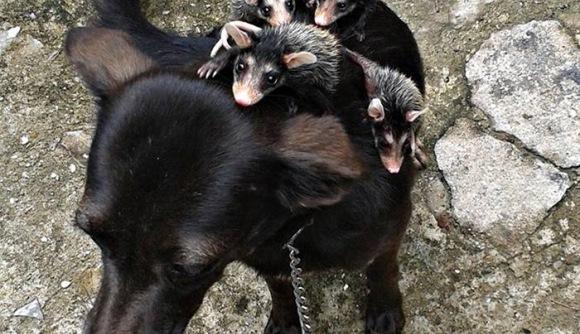 Pui de oposum, adoptaţi de o căţeluşă (Galerie Foto)
