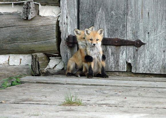 Cei mai drăgălași pui de vulpe din lume. Sunt prea adorabili ca să credem că sunt adevărați (Galerie Foto)