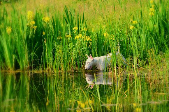 Cel mai simpatic bull terrier din toată lumea: iubește să pozeze printre flori (Galerie foto)