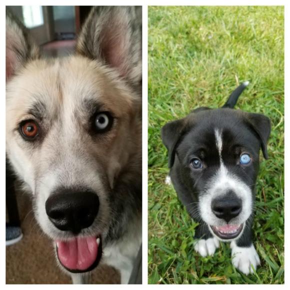 Heterocromia: imagini savuroase cu patrupezani canini care au ochii de culori diferite (Galerie foto)