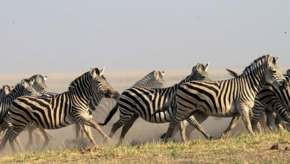 Cea mai lungă migraţie a unui mamifer terestru