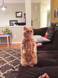 Să facem cunoștință cu George, pisicuța căreia îi place să stea în două lăbuțe! (Galerie Foto)