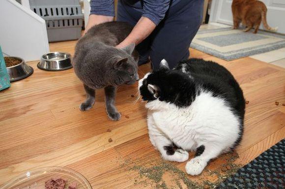 Ea este cea mai grasă pisică din lume (Galerie Foto)