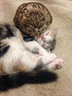 Imagini adorabile: Pisicuţa Marimo şi bufniţa Fuku iubesc să doarmă împreună (Galerie)