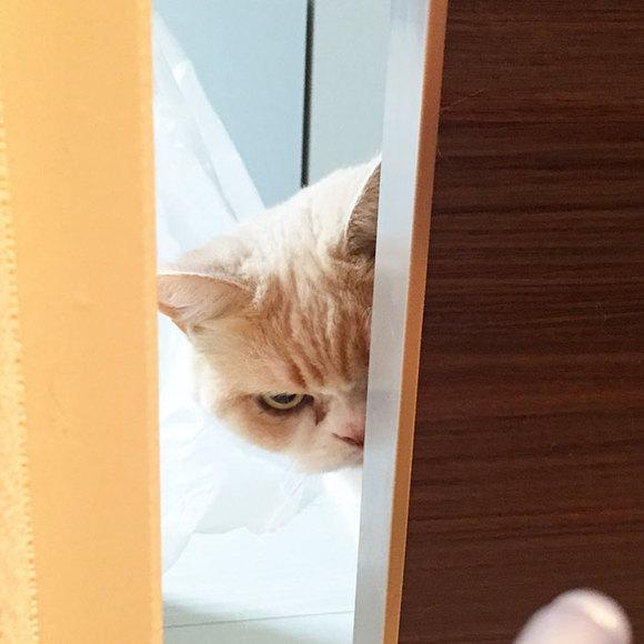 Grumpy Cat, în varianta japoneză. Este chiar mai grumpy decât orginala (Galerie Foto)