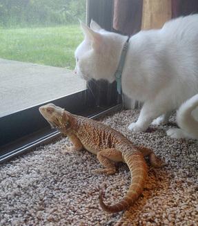 Pisica și dragonul bărbos – cei mai buni și drăgălași prieteni din lume (Galerie Foto)