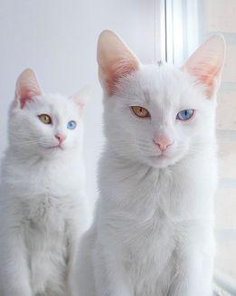 Cele mai frumoase pisici gemene din lume (Galerie foto)