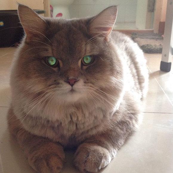 Bone Bone, pisica enormă din Tailanda. Toată lumea îşi doreşte să se fotografieze cu ea (Galerie foto)