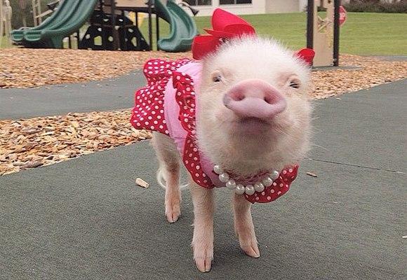 Să îl cunoaştem pe Priscilla, cel mai cunoscut porcuşor de pe Instagram (Galerie Foto)