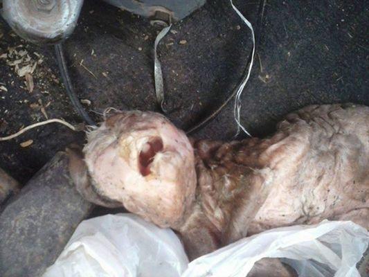 Capra mutant cu faţă umană. Fermierii acuzaţi de zoofilie. ATENŢIE - imagini şocante! (Galerie Foto)