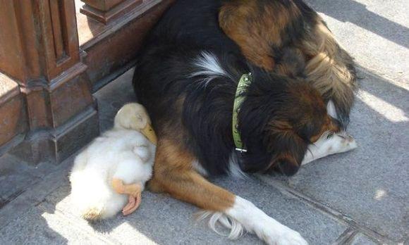 Prietenii adorabile între animale (Galerie Foto)