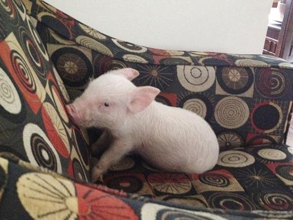 Au vrut un mini-porc de companie, însă s-au trezit cu un animal de 300 de kg (Galerie Foto)