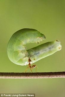 """Fotografii uimitoare: furnica roșie ce ridică o omidă """"uriașă"""" cu gura (Galerie Foto)"""