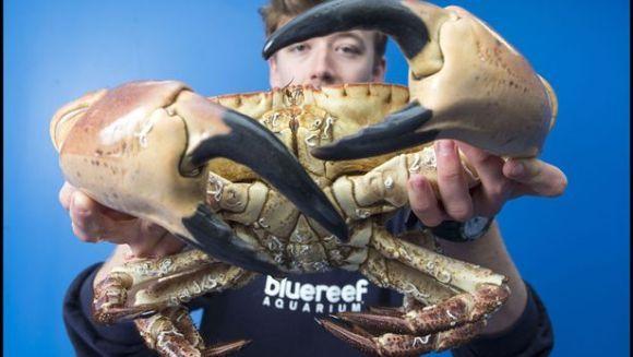 Un crab uriaș a fost prins pe Canalul Mânecii. Cleștii săi sunt impresionanți (Galerie Foto)